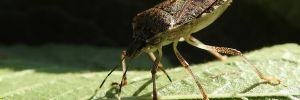 Primo lancio nelle Marche del parassitoide Trissolcus Japonicus per il controllo della cimice asiatica