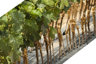 Vine Propagation Group